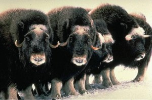 Musk oxen are well adapted to the extremes of arctic living with sturdy bodies and thick coats of hair.