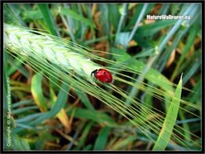 Ladybird beetle
