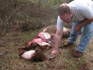 Skinning a Black Bear