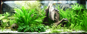 Densely-planted tropical fish tank