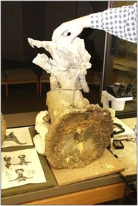 Dinosaur vertebra from the Woody Site being prepared at the Sternberg Museum of Natural History