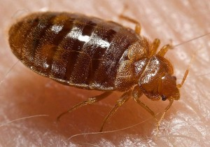 Bedbug nymph