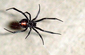 Latrodectus, the black widow