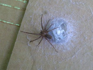 Loxosceles reclusa, the Brown Recluse